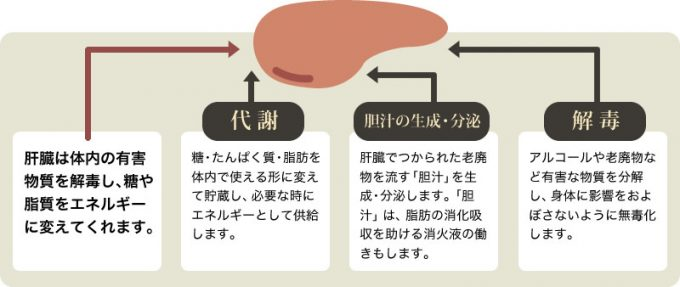 肝臓は体内の有害物質を解毒し、糖や脂質をエネルギーに変えてくれます。【代謝】糖・たんぱく質・脂肪を体内で使える形に変えて貯蔵し、必要な時にエネルギーとして供給します。【胆汁の生成・分泌】肝臓でつくられた老廃物を流す「胆汁」を生成・分泌します。「胆汁」は、脂肪の消化吸収を助ける消化液の働きもします。【解毒】アルコールや老廃物など有害な物質を分解し、身体に影響を及ぼさないように無毒化します。