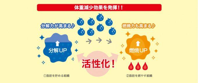 体重減少効果を発揮! ①脂肪を貯める組織 分解力が高まる♪ 分解UP 活性化! ②脂肪を燃やす組織 燃焼力も高まる♪ 燃焼UP